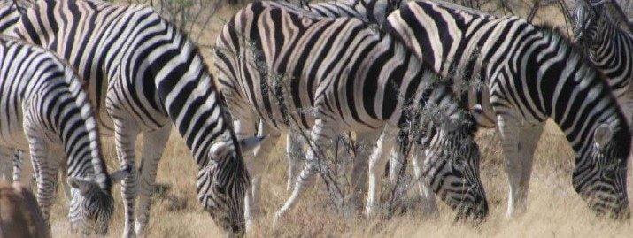 Namibia sebra